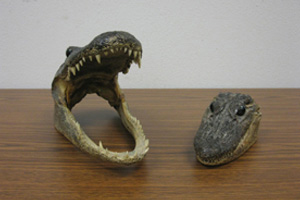 These real alligator heads certainly look happy to call Goodwill their new home!